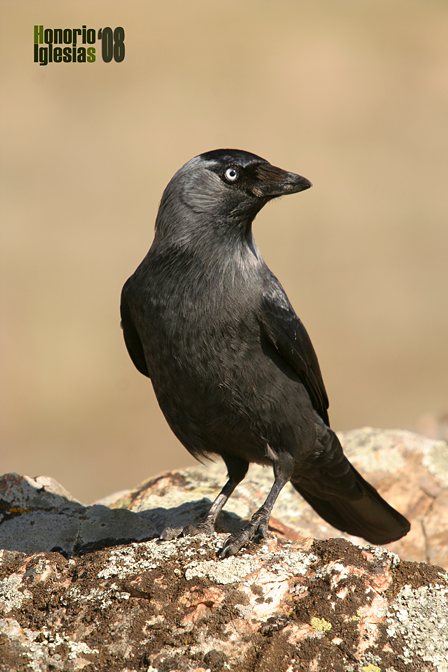 Grajilla occidental(Corvus monedula)